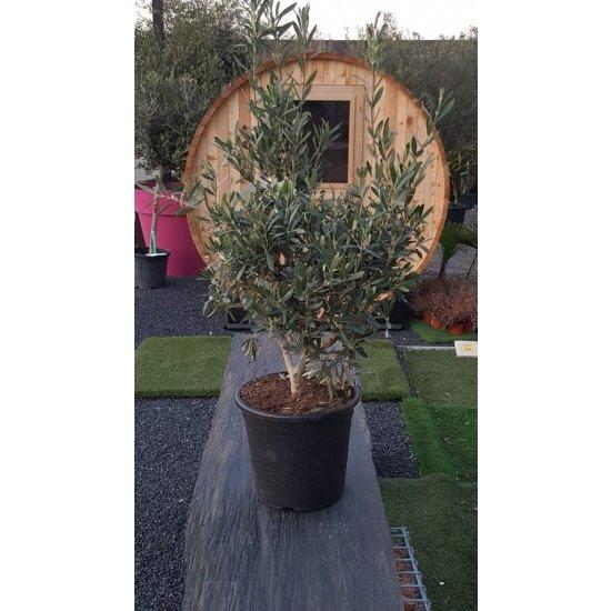 Arbre Olivier Européen arbuste